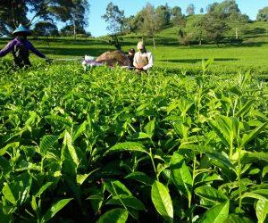 Penghasilan Pekerja Perkebunan Rancabali tak Terpengaruh Oleh Kondisi Pandemi