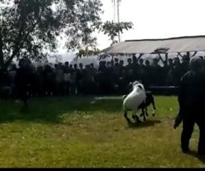 Mengintip Ketangkasan Adu  Gengsi Peternak Domba di Desa Jatisari
