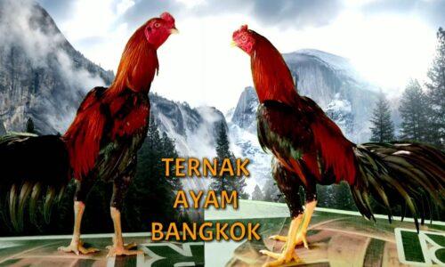 SD Sindangjaya Kembangkan Pembelajaran Beternak Ayam Bangkok