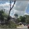 Dinilai Membahayakan, Pohon Tua di Kota Cianjur Ditebang