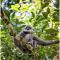 Primata Langka Owa Jawa  Muncul di Hutan Lindung Naringgul